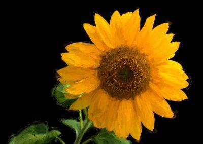 Solitary Sunflower - 11x14 $85