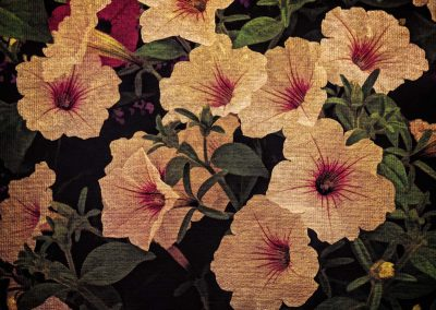 Old Fashioned Petunias - 11x14 $85