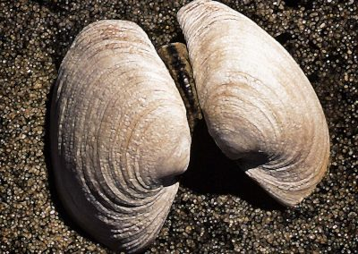 a geoduck clamshell on the sand