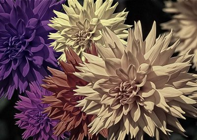 pale coloured Dahlias