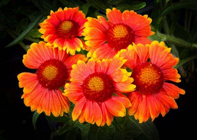 cluster of orange Gaillardia