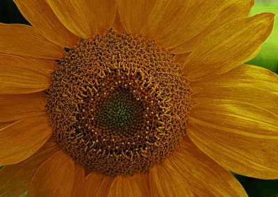Enhaced Sunflower
