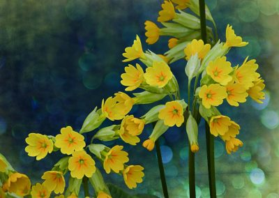 Yellow Primulas in Bloom