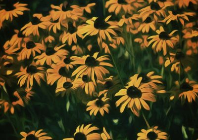host of Black-eyed Susans